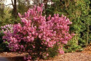 Lilac Sunday