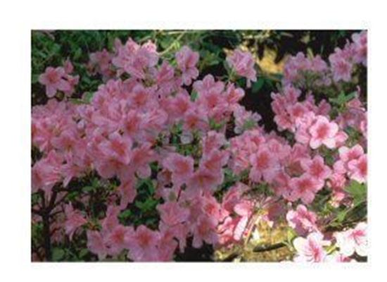 Rhododendron Yedoense Poukhanense Korean Azalea