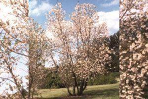 Rosea Pink Mountain Silverbell